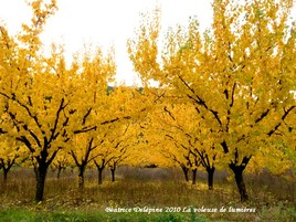 abricotiers en automne