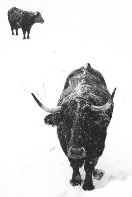 Couple de boeufs sous la neige,