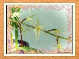 Eria javanica - Orchidée