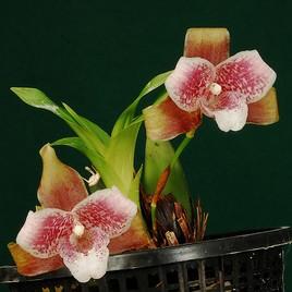 Orchidée du Costa-Rica.