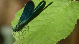 libellules en plein vol