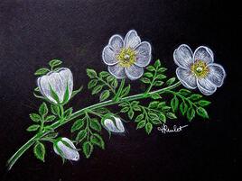Fleur de l'églantier  (Rosa canina) / Drawing White flowers of the dog rose