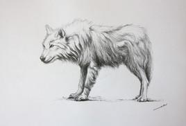 Dessin de Loup