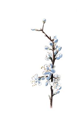 Rameau de prunellier