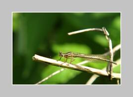 Mimetisme d'une libellule