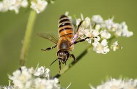 abeille 02