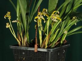 Maxillaria acutipetala - groupe de fleurs