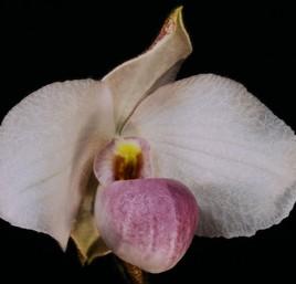 Orchidée du sud Viet-Nam.