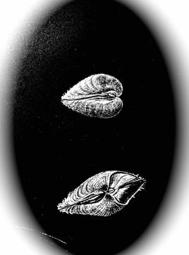Coquillage La praire / Drawing A shell, the clam (Venus verrucosa)