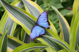 Butterfly nature photography - Photo 362 Morpho Helenor