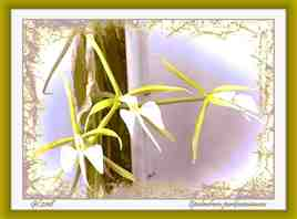 Epidendrum parkinsonianum - Orchidée