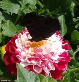 pavillon noir .. heu ..papillon noir :))