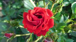 Allons voir si la rose