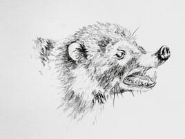 Coati Roar