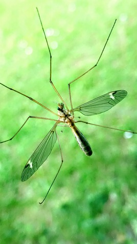 Tipula