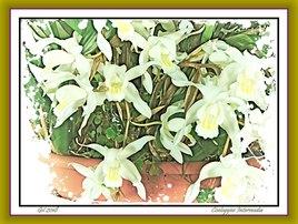 Coelogyne intermedia - Orchidée