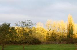 Plantation de feuilles d'or...