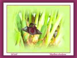 Maxillaria schunkeana - Orchidée
