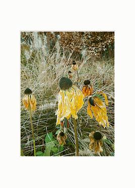Fleurs sèches du bord de Seine