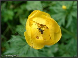 Insecte au coeur d'une fleur
