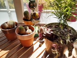 Cactus (j'en ai 35) et Pseudo succulentes