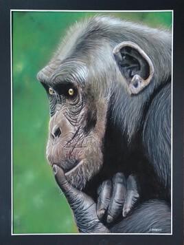 Chimpanzé pensif