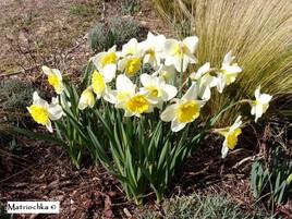 Narcisses printaniers