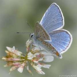 Photo Papillon Polyommatus icarus (Argus bleu)