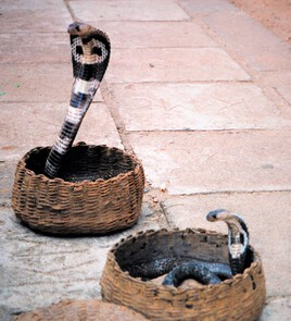 petit bestiaire du Sri Lanka : piqûres et morsures 2