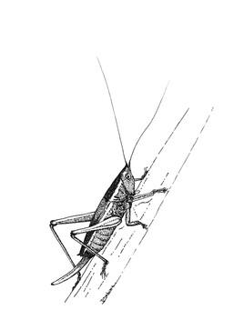Conocéphale des roseaux (Conocephalus dorsalis)