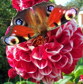 le regard d'une fleur.. heu d'un papillon !:)