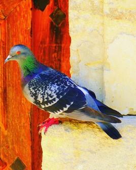 Louison le pigeon