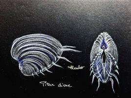 Coquillage Pitar dione (Hysteroconcha dione) / Drawing Pitar dione or Elegant Venus clam