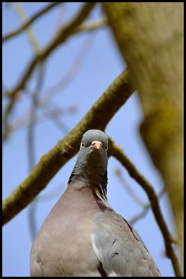pigeon louche