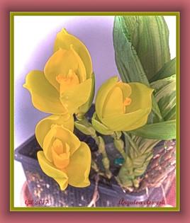 Orchidées - Stanhopea clowesii