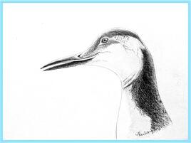 Guillemot de Troïl  en plumage d'hiver (Uria aalge) / Drawing of a Common Mure in winter plumage