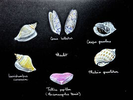Coquillages d'ici et d'ailleurs / Drawing Seashells from here and there