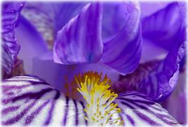 Coeur d'Iris. Pour Mélodie, notre reine des fleurs.