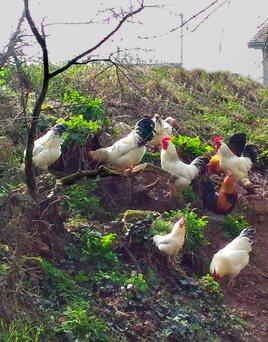 Coqs de village