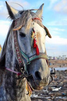 Le cheval noble