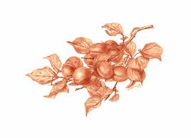 Branche d'abricots