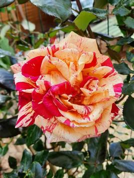Éclosion de rose ce jour !