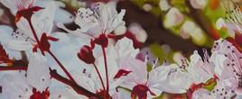 Un avant gout de printemps (fleurs de prunus)