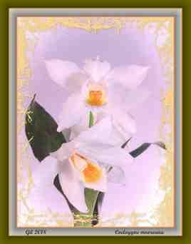 Coelogyne mooreana 2 - Orchidée