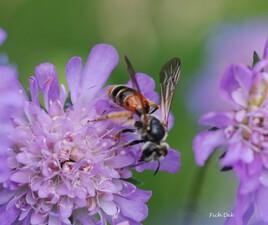 abeille sauvage sur scabieuse