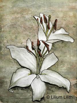 Aquarelle. Lilium n°1