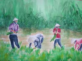 le piquage du riz