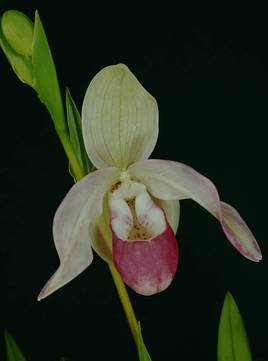 Phragmipedium Cardinale 2016