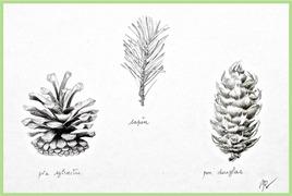 Branchette de sapin et cones / Drawing Twig of fir tree and fir cones