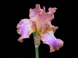 Iris bis